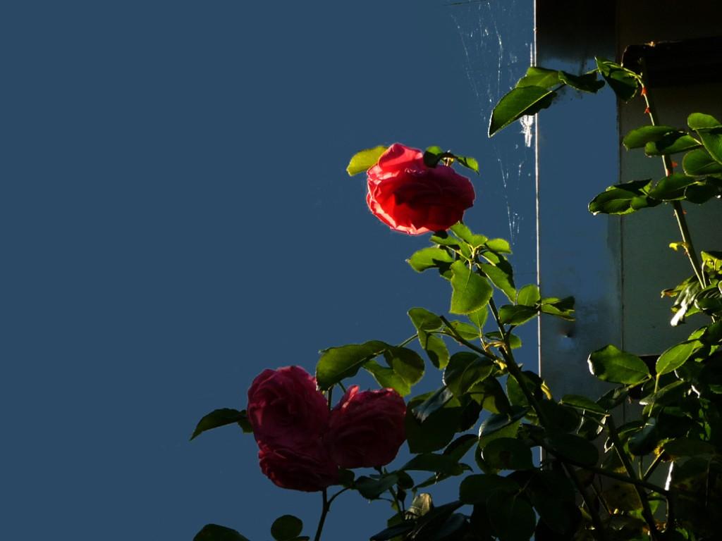 Rose mit Spinnwebe