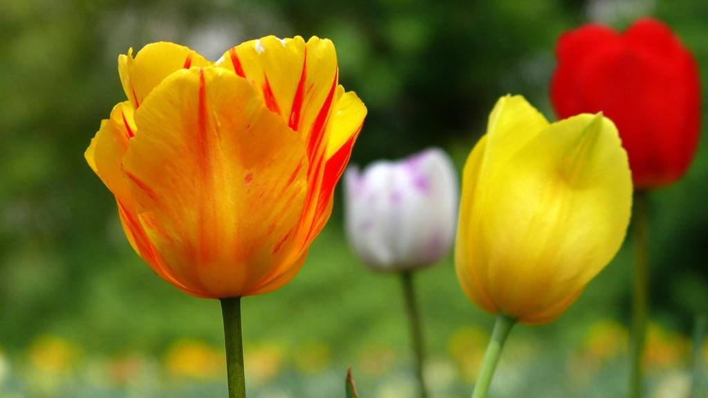 gelbe, rotgeflammte Tulpen