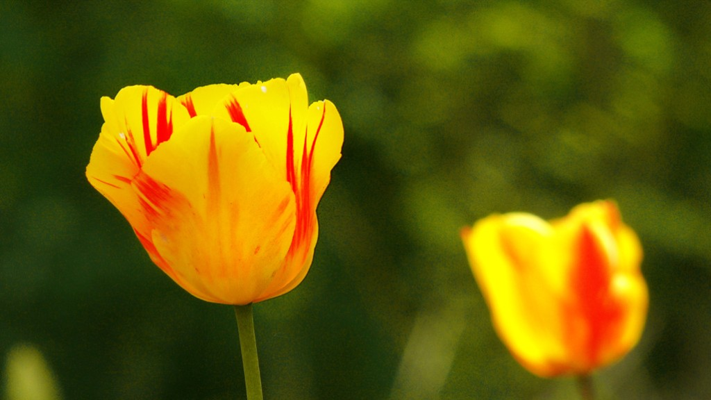 gelbe, rot geflammte Tulpen